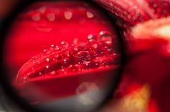 Goccioline sui petali Immagine Stock Libera da Diritti