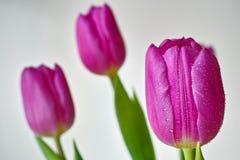 Goccioline sui tulipani immagini stock