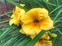 Goce de las flores amarillas hermosas de los veranos imagen de archivo