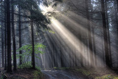 God beams - coniferous forest Royalty Free Stock Photos