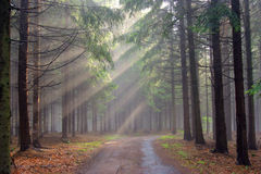 God beams - coniferous forest in fog. Image of the conifer forest in the early morning - a film of mist Stock Photos