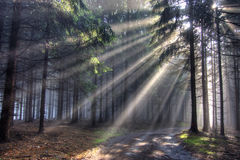 God beams - coniferous forest in fog. Image of the coniferous forest in the early morning - a film of mist Stock Photo