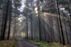 God beams - coniferous forest in fog Royalty Free Stock Image