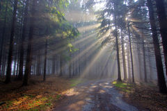 God beams - coniferous forest in fog Stock Image