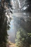 God beams - Sunbeams in the morning forest Royalty Free Stock Photography