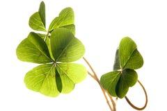 god lycka för växt av släkten Trifolium Royaltyfri Fotografi