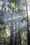 God rays in redwood trees royalty free stock photos
