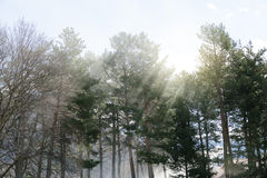 God rays between trees. Royalty Free Stock Images