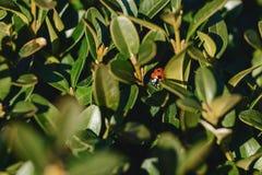 God&#x27 ; vache à s entre les feuilles au soleil Photographie stock