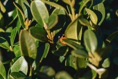 God& x27 ; vache à s entre les feuilles au soleil Photos libres de droits