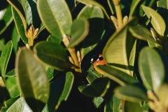 God& x27 ; vache à s entre les feuilles au soleil Photographie stock libre de droits