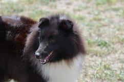 Goda som ser den svartvita Shetland fårhunden Royaltyfri Bild