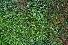Godagräsplanstaket av klippt thujabiota Arkivfoto