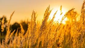 Goden summer sunset nature trees stock image