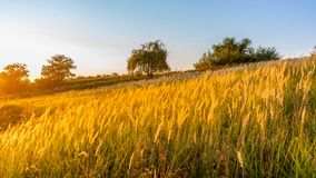 Goden summer sunset nature trees royalty free stock photos