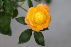 Goden yellow rose with green leaf blooming in garden stock photography