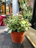 Godendo di buon frullato eccellente chiamato & x27; Sole Bowl& x27; con un occhio di una pianta minuscola adorabile immagini stock