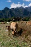 Godere della campagna del vieng del vang nel Laos Molto peacefull che circonda fuori della città occupata Rilassandosi con le muc immagine stock