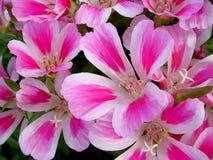 godetia λουλουδιών ανασκόπησ&e Στοκ Φωτογραφία