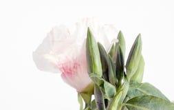 Godetia Clarkia flower Stock Image