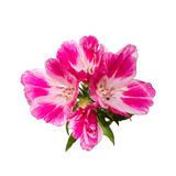 Godetia flower isolated. A branch of beautiful pink and purple spring flowers. Royalty Free Stock Photo