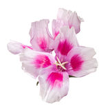 Godetia flower isolated. A branch of beautiful pink and purple spring flowers. Royalty Free Stock Images