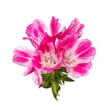 Godetia flower isolated. A branch of beautiful pink and purple spring flowers. Stock Photos
