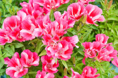 Godetia (Godetia amoena Ruddigore). Beautiful garden flower Godetia amoena Ruddigore Royalty Free Stock Photo