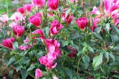 Godetsia kwitnie w ogródzie fotografia royalty free