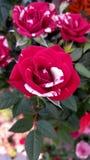 Godis Cane Rose Arkivfoton