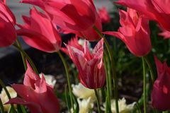 Godis Cane Tulip 03 Arkivfoton