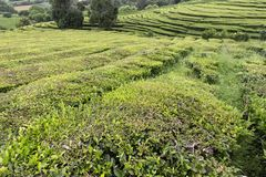 Godly tea plantation. Beautiful greens at a tea plantation in the island of Sao Miguel in the Azores stock photography