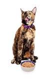 Głodne kota oblizania wargi Z jedzeniem Obrazy Stock