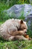 Głodny Kermode niedźwiedź je miód Zdjęcia Royalty Free