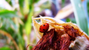 Gods Ladybird. Ladybird sits on bush summer in the heat Royalty Free Stock Image
