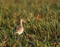 Godwit in Asian Sanctuary Royalty Free Stock Images