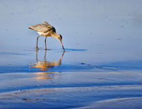 Godwit Bird on a Calfornia Beach Royalty Free Stock Photo