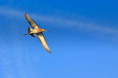 Godwit bird flying in the sky in close-up