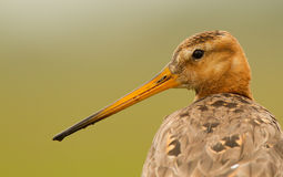 Godwit close up portrait Stock Images