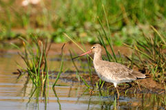 Godwit fishing Royalty Free Stock Photos