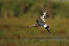 Godwit in flight Stock Images