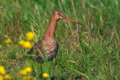 Godwit in a meadow Royalty Free Stock Photography