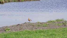 Godwit nära vattnet stock video