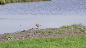 Godwit near the water stock video