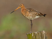 Godwit on a pole Royalty Free Stock Photos