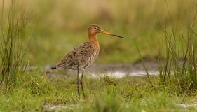 Godwit in teh field Stock Images