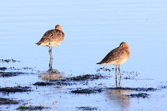 Godwits Royalty Free Stock Photography