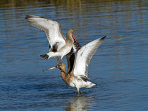Godwits Fighting Royalty Free Stock Photos