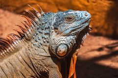 Godzilla. Iguana is one of the largest lizards and it can range from 1.5 to 1.8 metres in length. Males reach a maximum length over 2 metres and 6 kg stock images