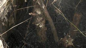 Goed hoogtepunt van de giftige gang van de olie vloeibare en gele kever door spinneweb stock footage